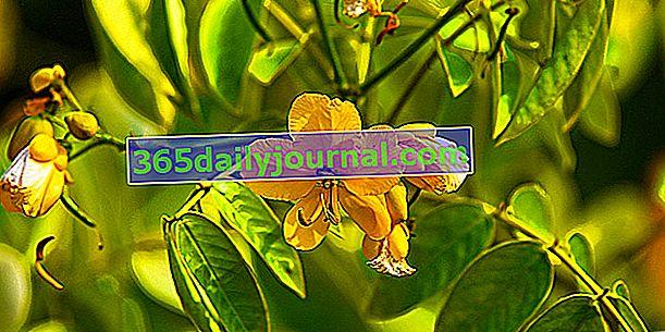 Senna (Cassia syn. Senna), un arbusto frío con flores amarillas