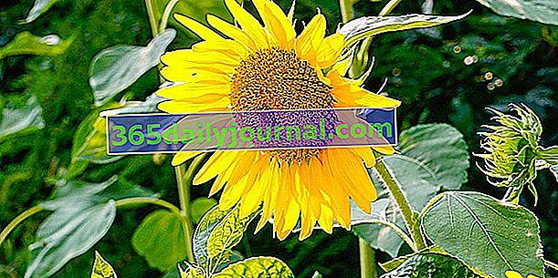 Las 10 flores amarillas más bellas del jardín