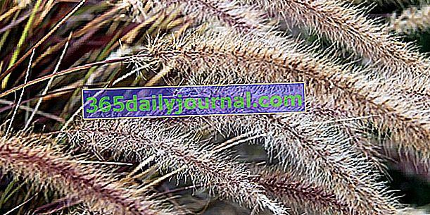 Pennisetum (Pennisetum), hierba decorativa para jardines contemporáneos