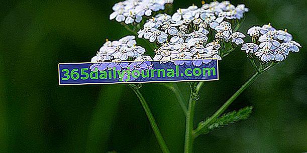Achillea millefolium (Achillea millefolium), hierba con cortes