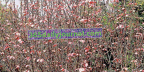 Alchornea davidii, ker s mladými ružovými listami