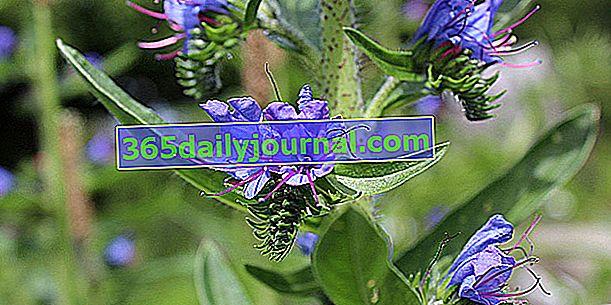 Viper (Echium spp.), Grafički ili prirodni cvjetni klasovi