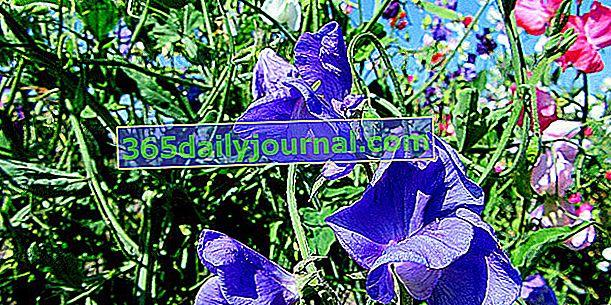 Tatlı bezelye (Lathyrus odoratus), parfümeride çok popüler bir bitki