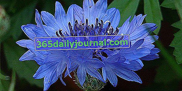10-те най-красиви сини цветя в градината