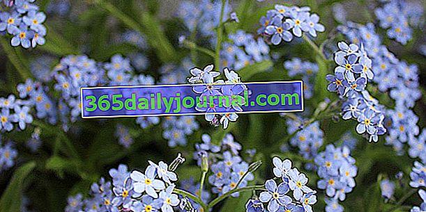 No me olvides (Myosotis), la hierba del amor de primavera