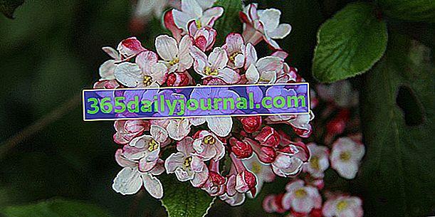 Laurel-tin lub Viburnum Tinus (Viburnum tinus), krzew kwitnący zimą