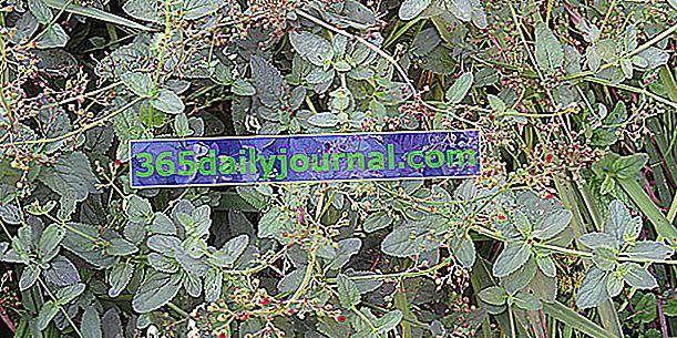 Smokva ušna lavanda (Scrophularia auriculata), vodena smokva