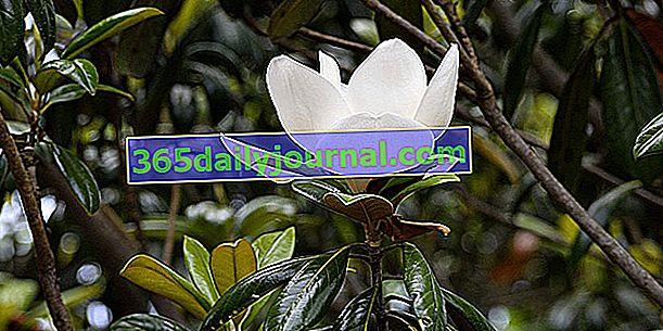 Magnolia de flores grandes (Magnolia grandiflora), siempre verde