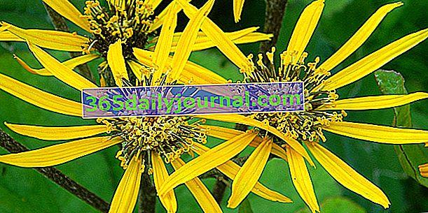 Ligularia (Ligularia), sa žutim ili narančastim cvjetnim glavicama