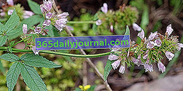 Cedronella (Cedronella canariensis) nebo balzám na Gilead
