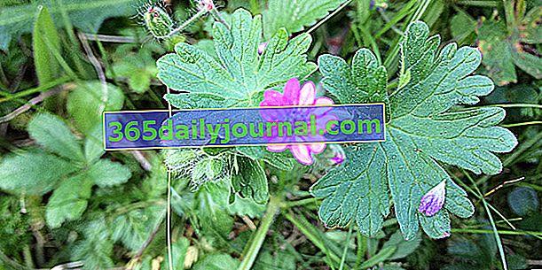 Geranium měkký (Geranium molle) nebo měkký Geranium