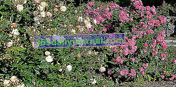 Arbustos de rosas para crear camas