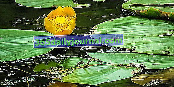 Rumena vodna lilija (Nuphar lutea), rumena vodna lilija