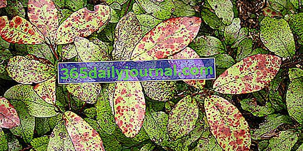 Pepper Tree (Pseudowintera colorata) ali Horopito