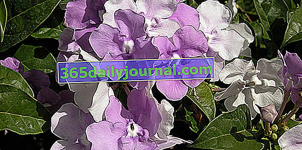 Dün, bugün, yarın (Brunfelsia pauciflora), üç renkli çiçeklenme