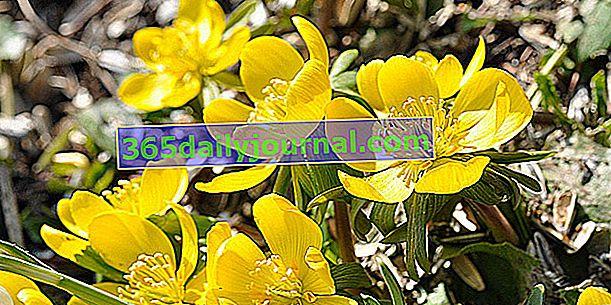 Cinquefoil (Potentilla spp.) Cvijeće planinskih kamenjara