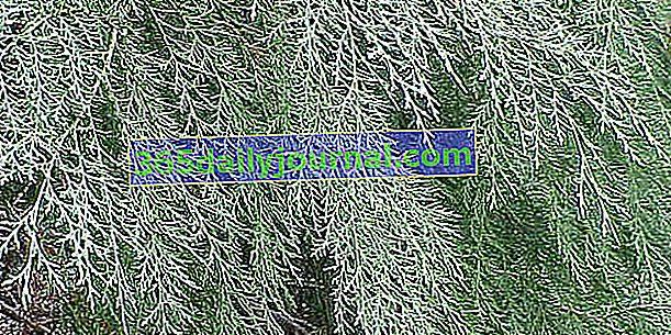 Cyprys Leyland (x Cupressocyparis leylandii) na szybko rosnący żywopłot