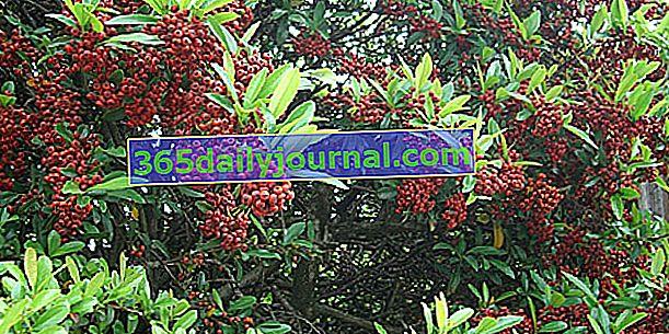 Горящ храст (Pyracantha), храст с малки цветни топчета