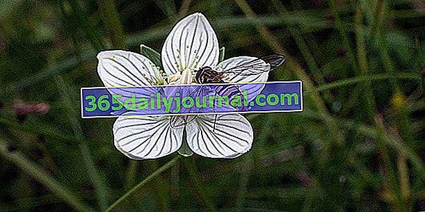 Блатна парнасия (Parnassia palustris), блатна звезда