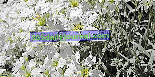 Курча звичайна (Cerastium tomentosum), срібний кошик