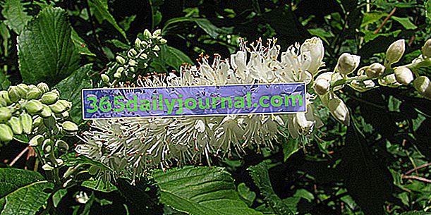 Клетра от елша (Clethra alnifolia) във влажен подраст