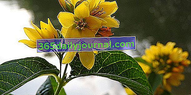 Лизимах (Lysimachia), растение със златни щитове