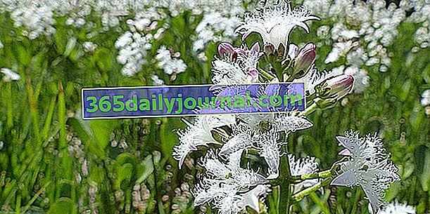Jetel vodní (Menyanthes trifoliata) nebo jetel bažinový