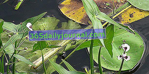 Flecha de agua (Sagittaria sagittifolia), perenne semiacuática