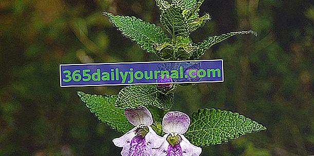 Citrónový balzam (Melittis melissophyllum) alebo citrónový balzam