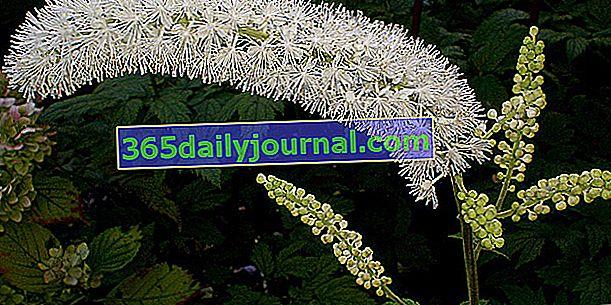 Cimicifuga (Actaea simplex) o vela de plata