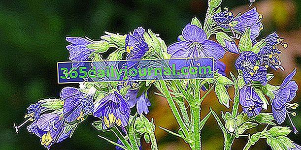 Valeriana griega (Polemonium caeruleum), Escala de Jacob