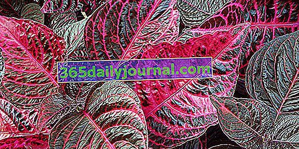 Iresine de Herbst (Iresine hesbstii), con follaje colorido