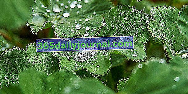 Manto de dama (Alchemilla vulgaris), una planta de cobertura del suelo