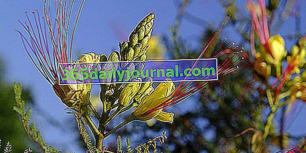 Rajska ptica (Caesalpinia gilliesii), čudovit cvetoč grm
