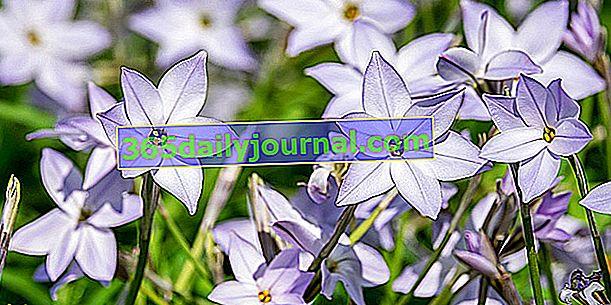 Pomladna zvezda (Ipheion uniflorum), preproga zvezd