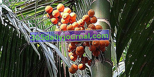 Areca (Areca), dlaň známá pro arekové ořechy