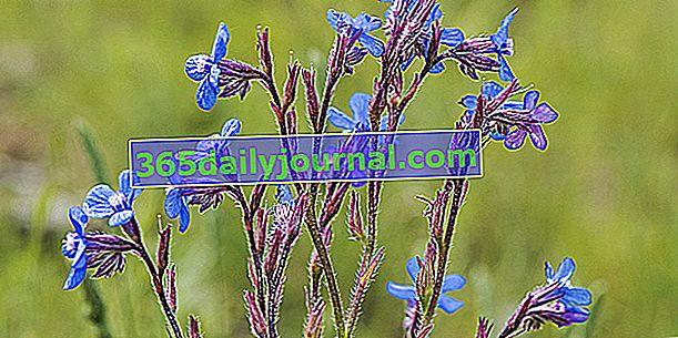 Buglosse (Anchusa azurea), łatwa bylina o naturalnym wyglądzie