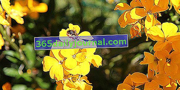 Равенель обыкновенная (Erysimum cheiri) или желтоцветковая