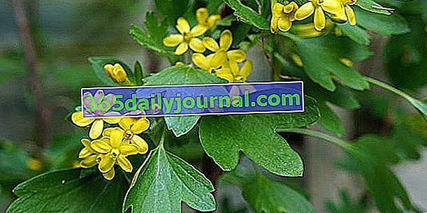Grosella dorada (Ribes odoratum) o grosella fragante
