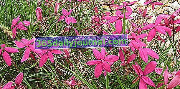 Rhodohypoxis, tepih ravnih cvjetova bez vidljivog srca