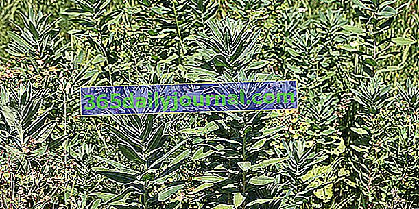 Navadna jelka (Euphorbia characias)