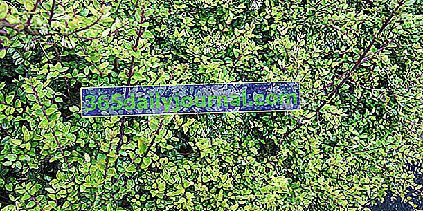 Wiciokrzew bukszpanowy (Lonicera nitida) lub wiciokrzew błyszczący