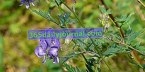 Tojad (Aconitum napellus), piękna, trująca roślina kwitnąca