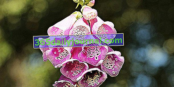 Naparstnica (Digitalis purpurea), trująca roślina