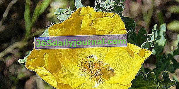 Мак рогатий (Glaucium favum) або пісок маку жовтого кольору