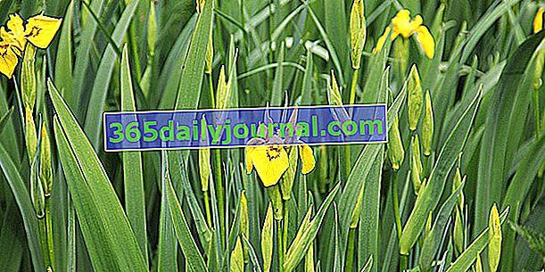 Kosatec bahenní (Iris pseudocarpus), pro vlhká místa