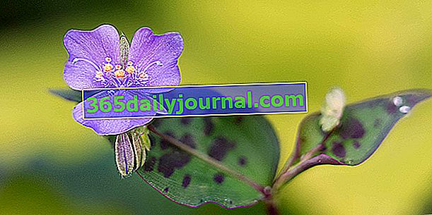 Лилава мизерия (Tinantia pringlei), земно покритие с петниста зеленина