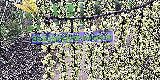 Stachyurus chinensis, nakupine zvona krajem zime