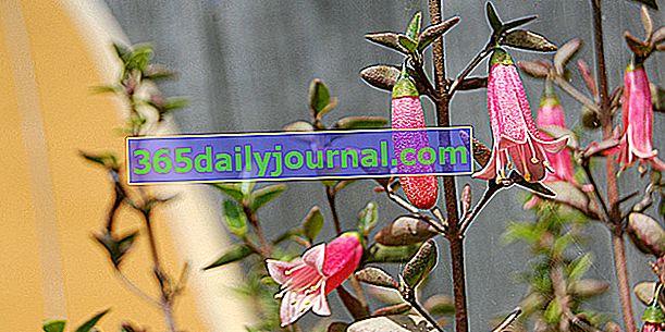 Australska fuksija (Correa), zimska cvatnja