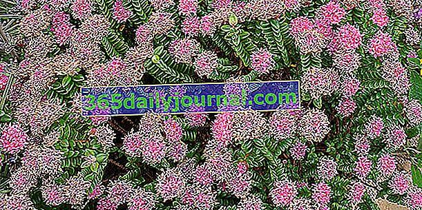 Plodna pimeleja (Pimelea ferruginea) s cvijetom ružičaste riže